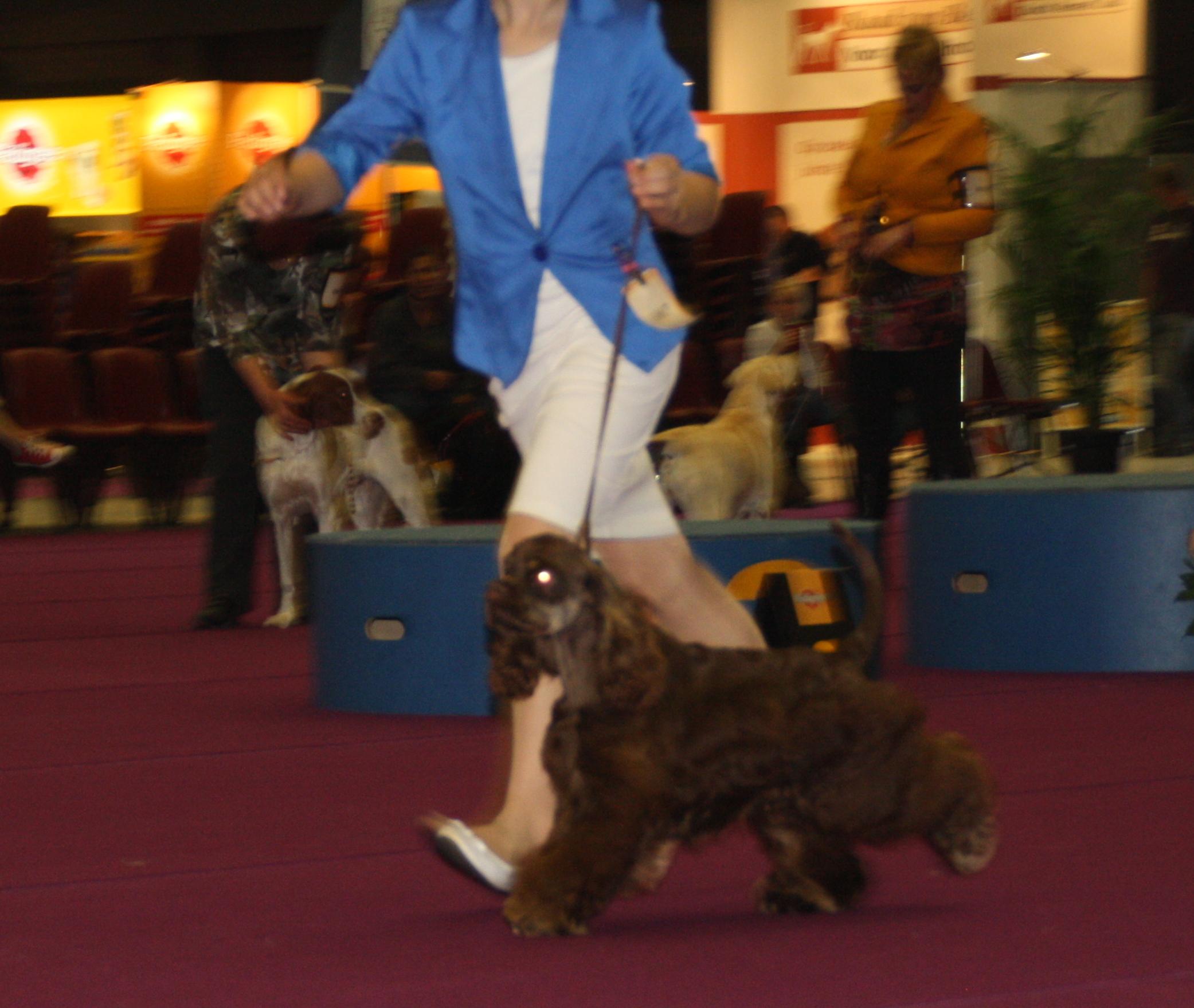 Chicomy's Top Gear in de erering bij de selectie beste puppy's van het ras ! mooi voorgebracht door Demi.